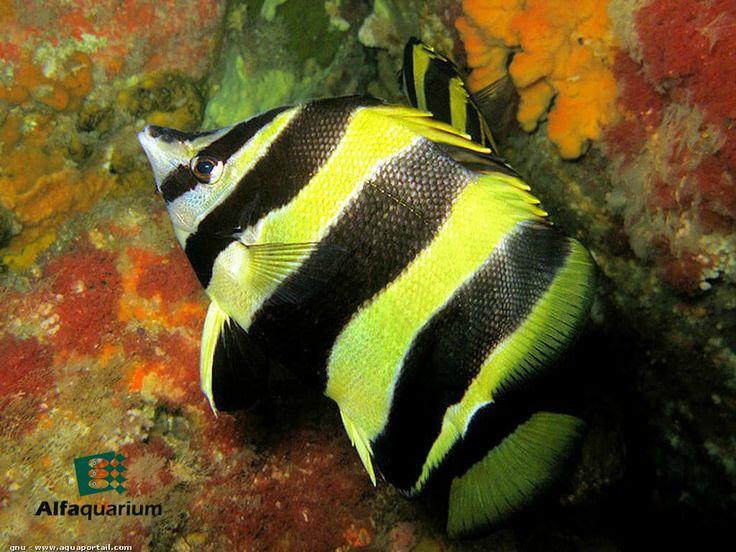 Pez mariposa de Lord Howe  Puede adaptarse y aceptar alimentos comerciales o preparados en casa. Sin embargo, no es un pez recomendable para un acuario de arrecife pues daña los pólipos de los corales duros.