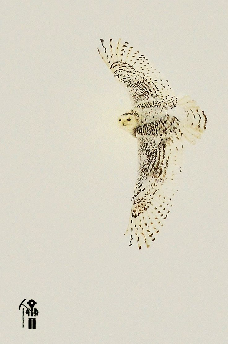 Martha's Shot of the owl after it snacked on a mouse Owl on the hunt