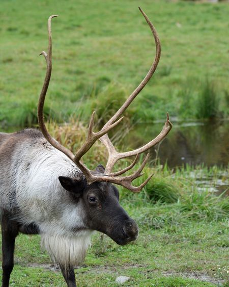 Reindeer Photo by shelley Jacques — National Geographic Your Shot