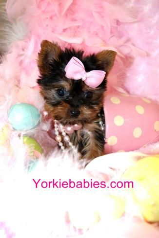 Teacup Yorkie, Teacup Yorkie Puppy, Yorkies for sale, Yorkie For Sale, Yorkie Puppy for Sale, Yorkshire Terrier, Teacup Yorkie for sale, Teacup Yorkies South Florida. Yorkies for sale , teacup yorkies for sale