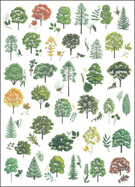 Forestry and Land Scotland - Tree species