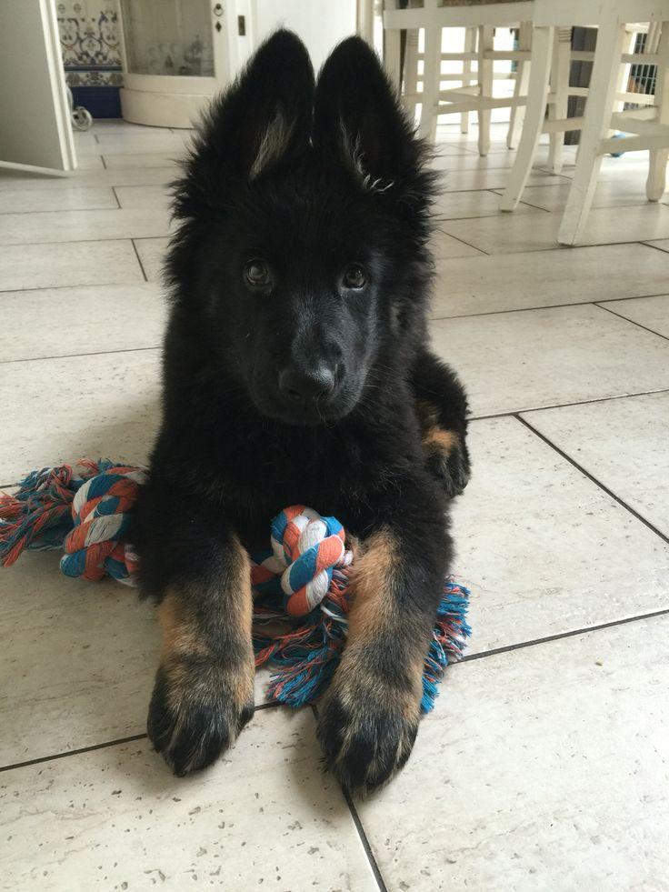 Onze oudduitse herder pup Nala, 11 weken oud.❤️