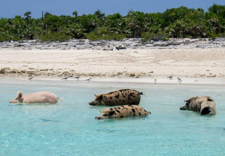 """The swimming pigs are located off of Big Major Cay. You may recognize them from Pitbull and Ke$ha's """"Timber"""" video. Learn more here."""