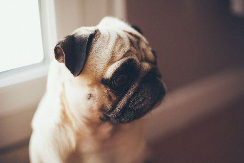 pug...oh, I need one so bad!