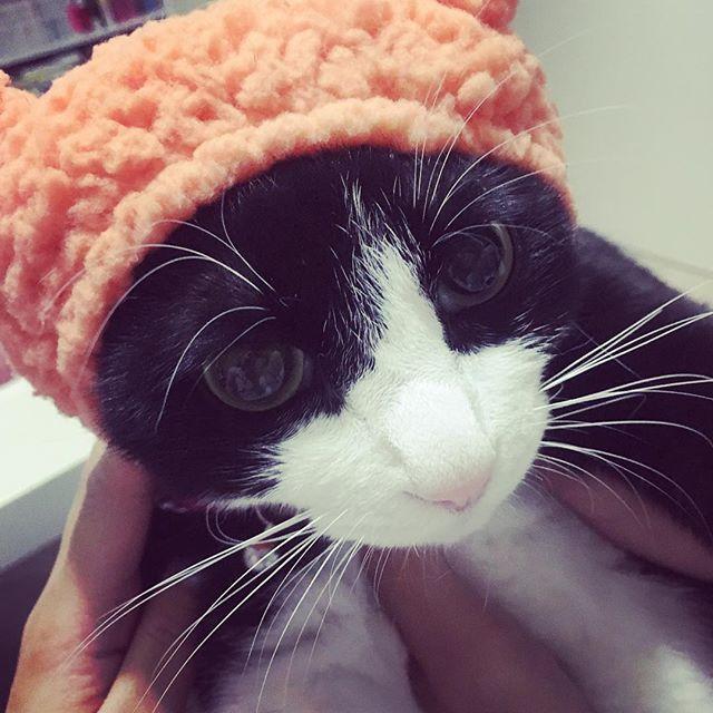 かぶりものイヤイヤ😅 . #cat #kitten #ねこ #猫 #ネコ #ネコ部 #愛猫 #猫のいる暮らし #トロ #1歳 #ハチワレ #白黒猫 #ハチワレ部  #ふわもこ部 #靴下ネコ #ソックスキャット #MIX #男の子 #mofmo #picneko #catstagram #にゃんすたぐらむ #にゃんだふるらいふ #ペコねこ部 #タキシード #みんねこ #猫のいる暮らし #かぶりもの #猫好きさんと繋がりたい