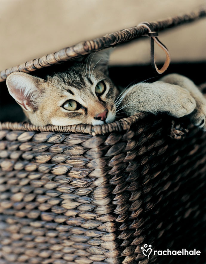 Toscano (Asian Shorthair) - Toscano lifts the lid on the surprise picnic.