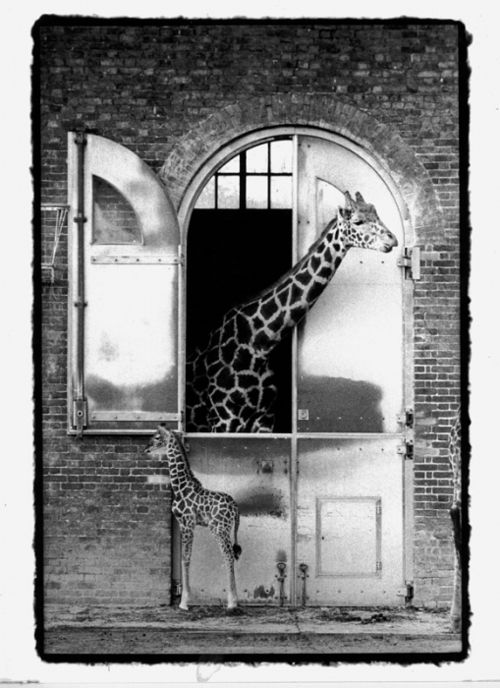 Giraffes at London Zoo, B~ Ziggy Mrkich  #london  http://www.roehampton-online.com/?ref=4231900