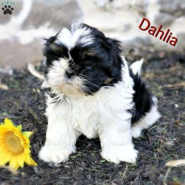 Dahlia Shih Tzu Puppy Shih Tzu Puppy Shih Tzu