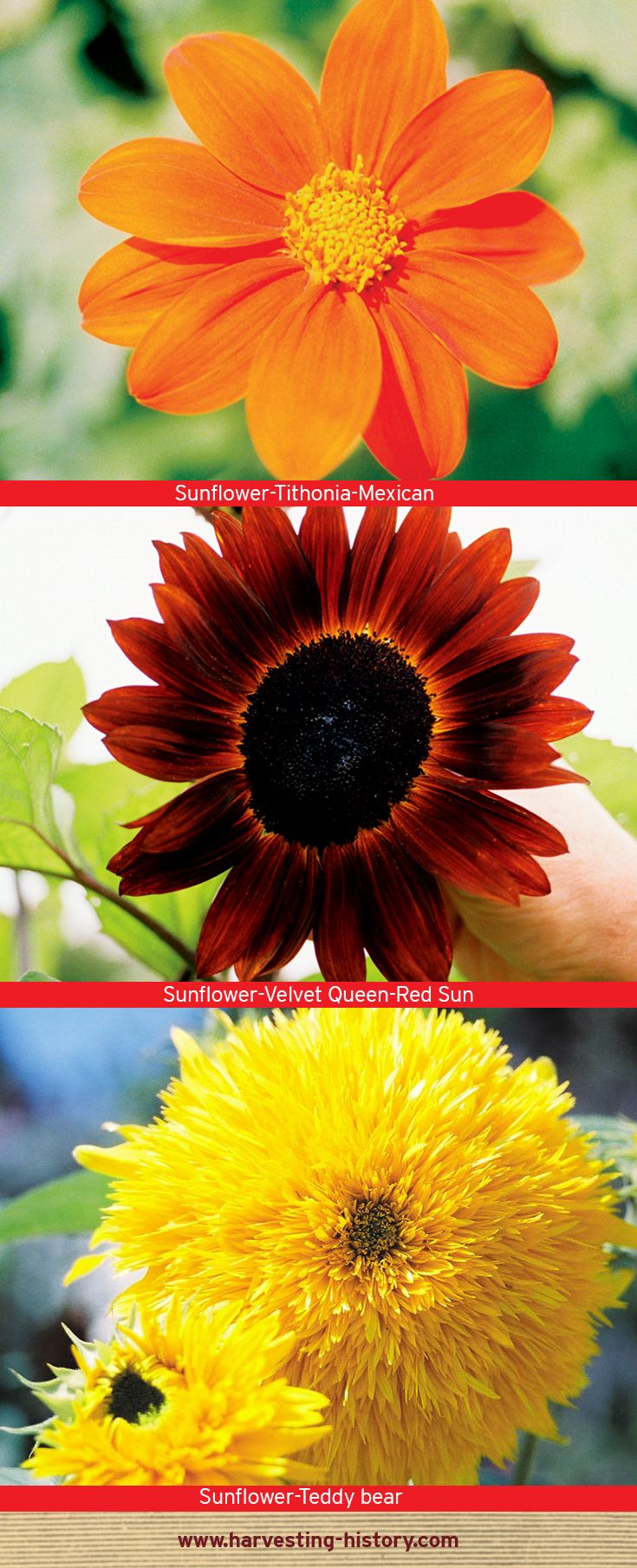 Sunflowers Are A Uniquely American Flower Native To The Southeastern United States But Wound Up In South America Where It B Sunflower Flowers Native American