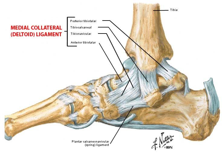 Foot anatomy ligaments