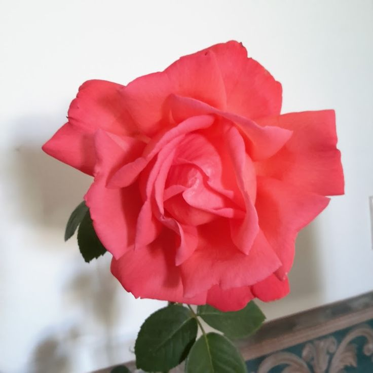 This is a beautiful rose from my garden.   For the project, I want to experiment with visions of how the rose might die while maintaining shape and form.