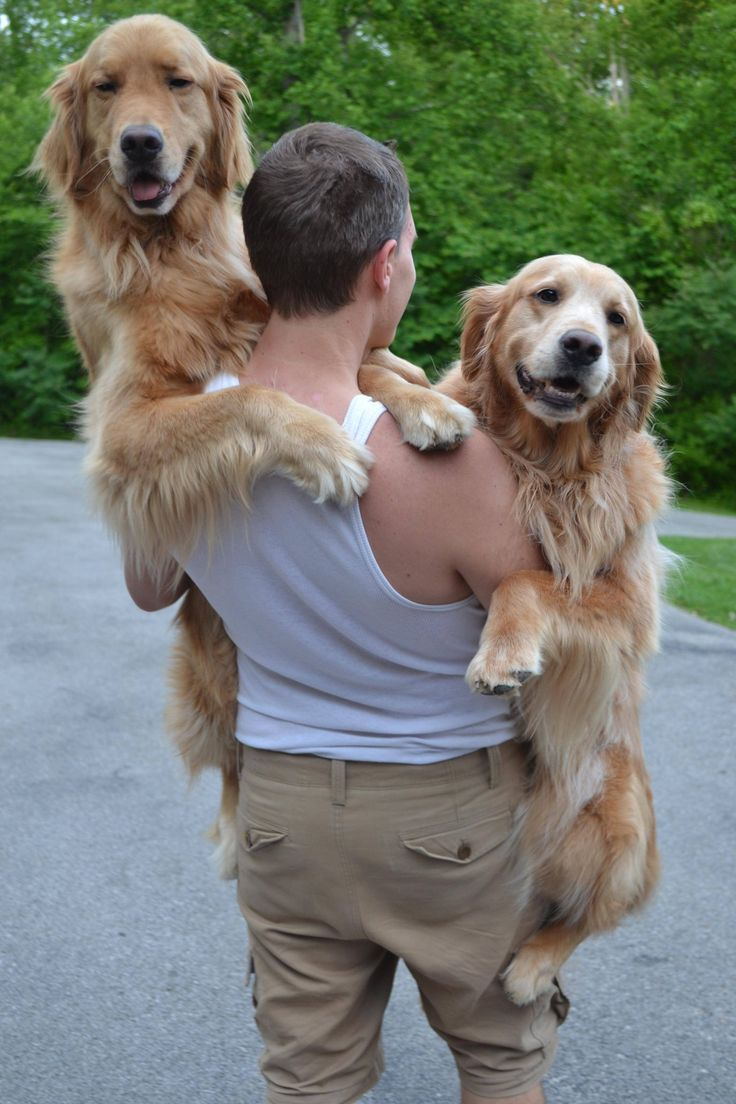 90 lb Golden you say? Try two :) | Pinterest | Dog, Animal and Big