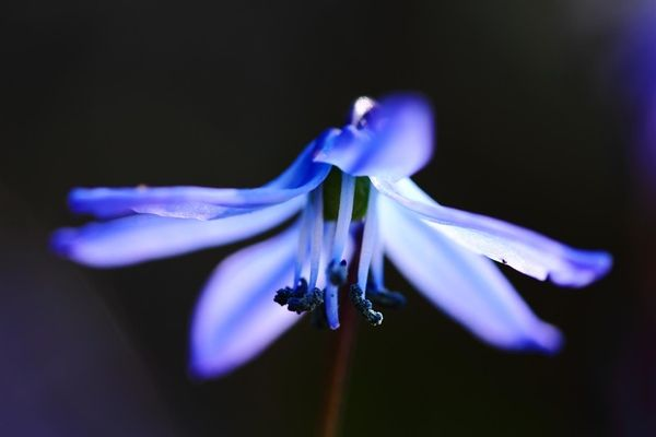 Blue spring Scilla Flower