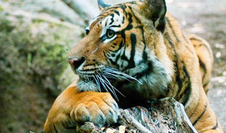 Of the eight original subspecies of tigers, three have become extinct in the last 60 years, an average of one every 20 years:    Bali tiger -- extinct in the 1930s  Caspian tiger -- extinct in the 1970s  Javan tiger -- extinct in the 1980s
