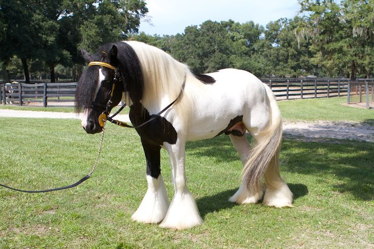 King William is one of the many stunning Gypsy Vanner stallions at Gypsy Gold Horse Farm in Ocala Florida.