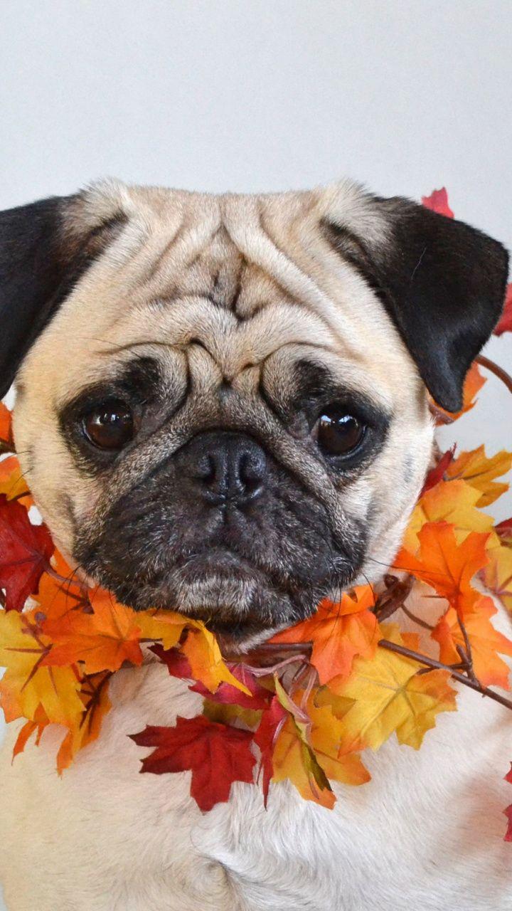 720x1280 Cute Pug Dog Wallpaper Cute Pugs Dog Foto Dogs