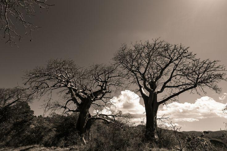 Baobab de Mayotte