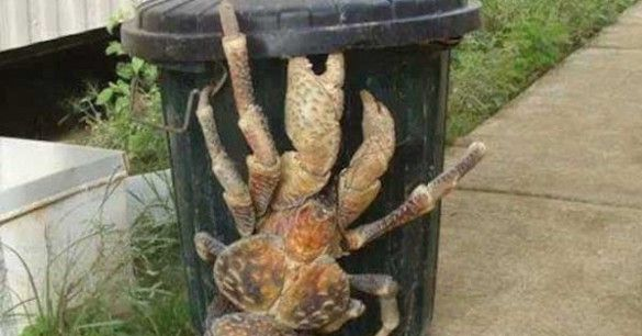 Giant Land Crab Invades Hawaii...