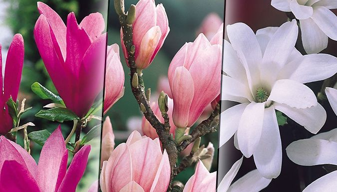 Buy Flowering Magnolia Shrub Collection - 3 Different Varieties UK deal for just: £16.99 See how your garden grows with a Flowering Magnolia Shrub Collection.      Collection of three shrubs contains:                Soulangeana - white blushed pink with large, goblet-shaped flowers          Betty - pink-purple coloured with large blooms carried over all branches          Royal Star - a...