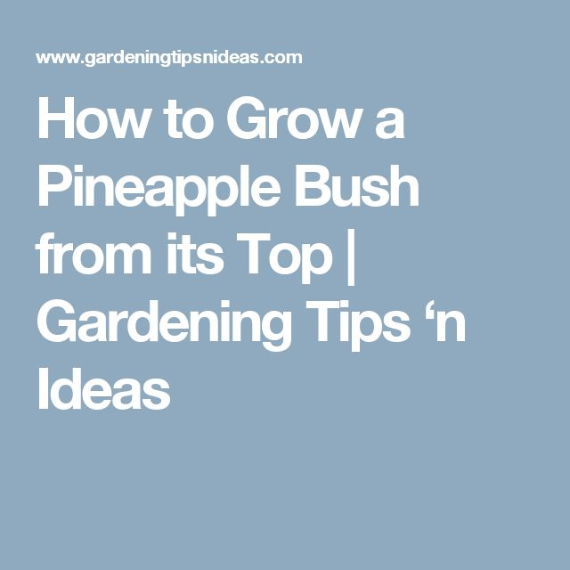 How to Grow a Pineapple Bush from its Top | Gardening Tips 'n Ideas