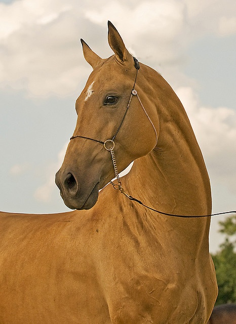 Equine horse pony equestrian caballo pferde