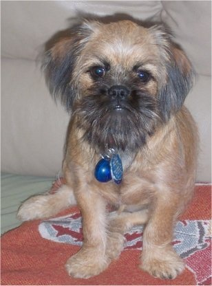 9 best molly images on pinterest brussels griffon doggies and dogs close up front view a tan with black shiffon dog is sitting on a rug in front of a couch and it is looking forward the dog has longer hair on solutioingenieria Image collections
