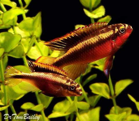17 best images about pelvicachromis pulcher kribensis on for African freshwater fish