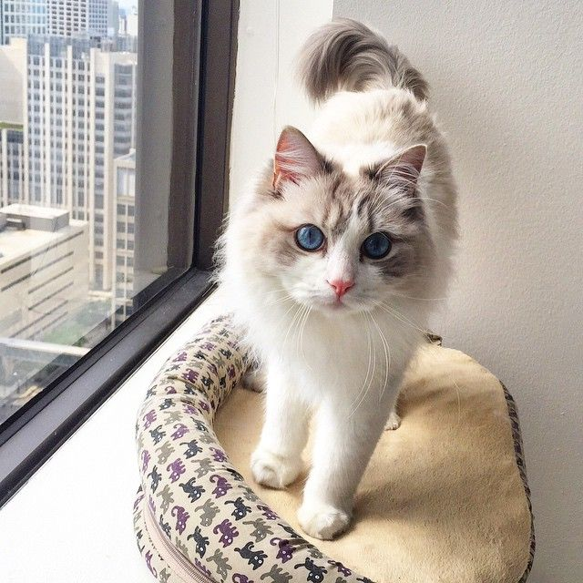 I love my window perch! Great views of gorgeous Chicago. Nugget is a beautiful Blue Bicolor Ragdoll cat!