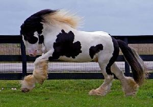 Breed: Gypsy Vanner, Gypsy Cob Gender: Stallion Color: Black & White Height: 15.2 hh DOB: 01/01/2001 Weight: 1500 Stud Fee: $2,000 Broke to Drive: Yes  Booking Fee: $500 Sale Price: $36,000Gypsy Horses, Dreams Horses, Beautiful Hors, Clydesdale Horses, Dream Horse, Clydesd Hors, Gypsy Horse Horses, Country, Animal
