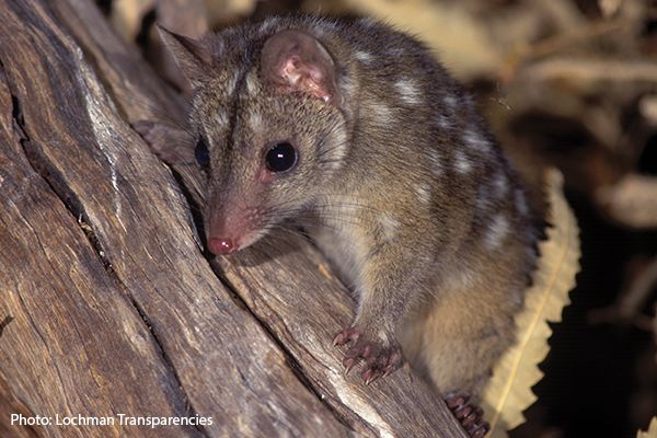Quoll and Brush-tailed Possum Update | FAME
