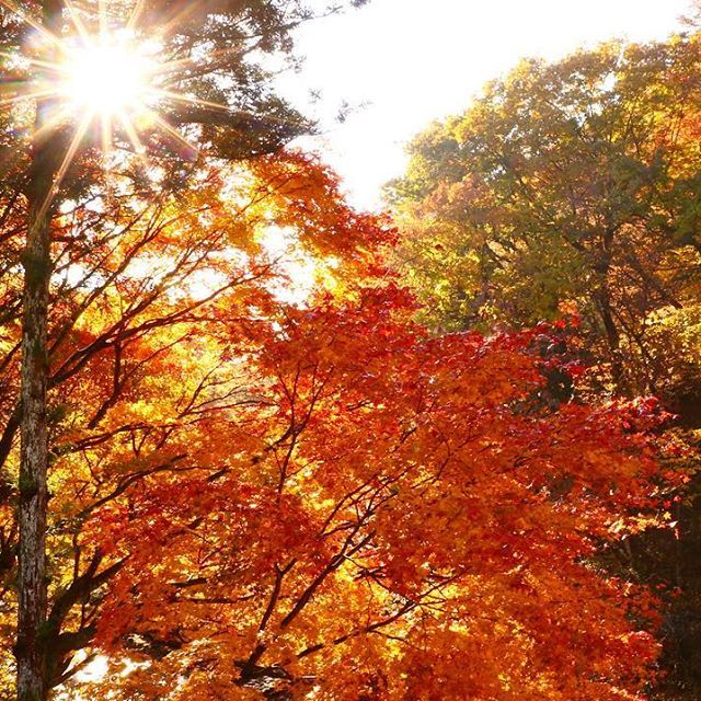 【kimi_s818】さんのInstagramをピンしています。 《森に住みたい。 . . #四万温泉 #紅葉 #木漏れ日 #森 #光合成 #森林浴 #マイナスイオン #もみじ #ダレカニミセタイケシキ #カメラ女子 #ファインダー越しの私の世界 #写真撮ってる人と繋がりたい #写真好きな人と繋がりたい #一瞬を永遠に #orange #forest #sunnyday #ig_japan #wu_japan #photo_jpn #bestjapanpics #tokyocameraclub #lovers_nippon #ptk_japan #wp_japan #art_of_japan  #japan_daytime_view #japan_of_insta #canon #80d》