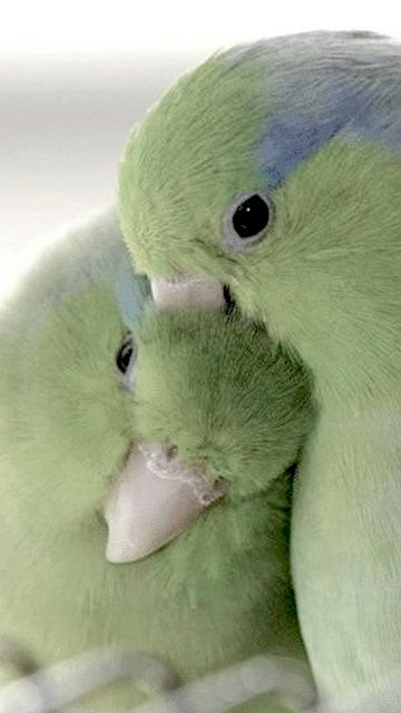 REAL, color enhanced? Yet another version of the same photo of pacific parrotlets - people like birds kissing and snuggling! These colors actually appear more muted than the real colors, which is unusual on Pinterest.
