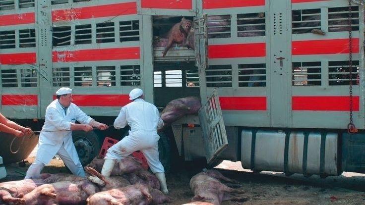 Petition · Abschaffung der Schlachtung trächtiger Kühe, Massentierhaltung, Tiertransporte, Schreddern von 50 Millionen männlicher Küken jedes Jahr usw. · Change.org