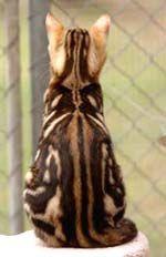 Бенгальская кошка: Окрасы - Породы кошек - CATS-портал