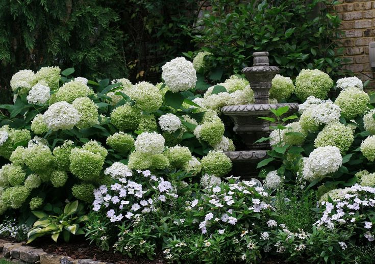"Annabelle hydrangea in the white garden glows at night. Blooms can get to about 12"" across."
