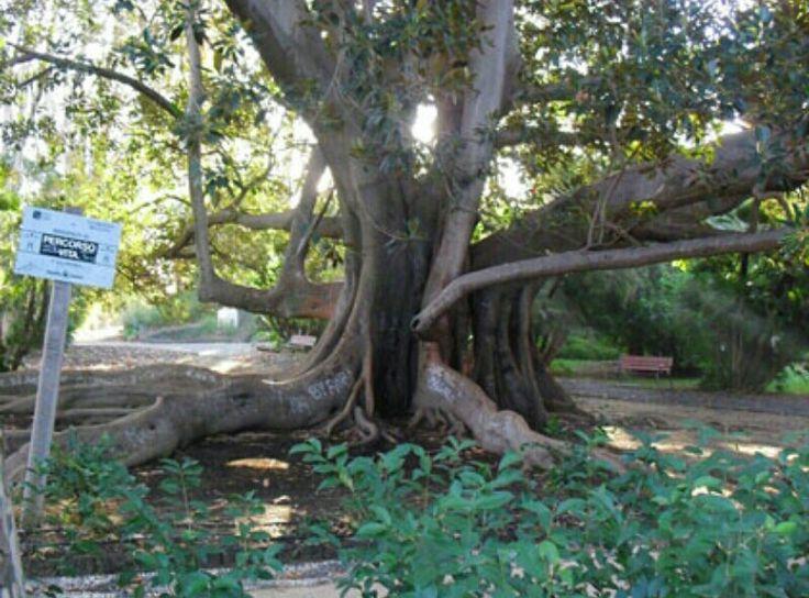 Ficus Macrophylla del Giardino Bellini a Catania