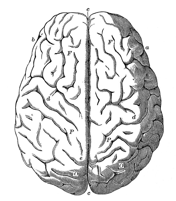 Vintage Anatomy Images - Human Brain - The Graphics Fairy