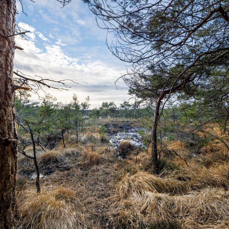 Bild 29 - Zadlitzbruch in der Dübener Heide bei Torgau | © Michael Eichhorn #zadlitzbruch #dübener_heide #naturschutzgebiet #sachsen #saxony #ausflugsziel #torf #moor #hochmoor #wandern #dübenerheide #duebenerheide #torgau #baddueben #baddüben #wald #sumpf #sumpfgebiet #natur #naturschutz #reservat #biosphäre #biosphere #farn #naturpark #falkenberg #trossin #dresden #nordsachsen #leipzig #sehenswürdigkeit #ziel #sonnentau #sumpfdotterblume #kranich