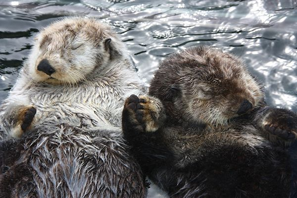 "When it's time to eat, rest, or sleep, otters float together on their backs in a formation called a ""raft."" While rafting, otters will often grasp hands so that they don't drift apart in their sleep."