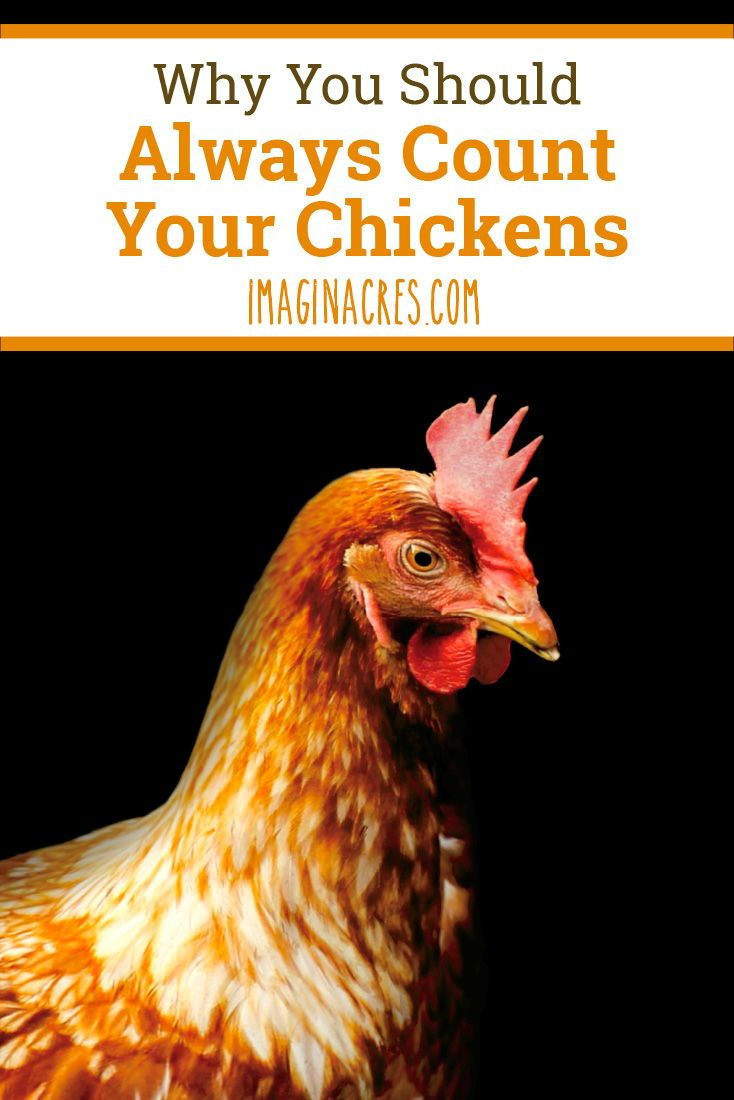 Why You Should Always Count Your Chickens Chickens Backyard