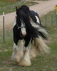 Pferde kaltblüter tinker