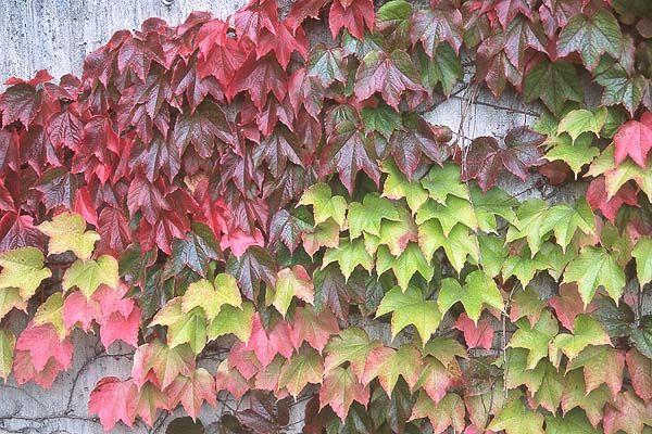 Parthenocissus tricuspidata BostonIvy autumn