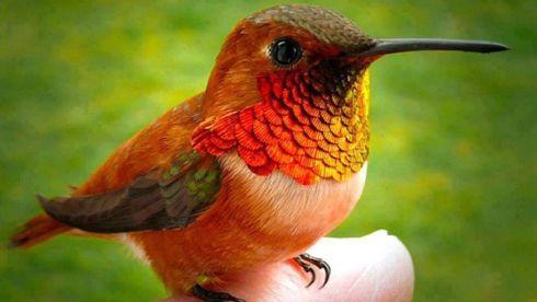 Colibri abeille, Aussi appelé colibri d'Elena, c'est le plus petit oiseau au monde. Il mesure entre 5 et 6 cm alors que son minuscule nid fait à peine 2,5 cm. On le retrouve uniquement à Cuba.