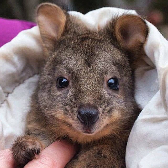 Epic cuteness alert, a injured baby Pademelon being nursed back to health by Wild Ocean Tasmania …