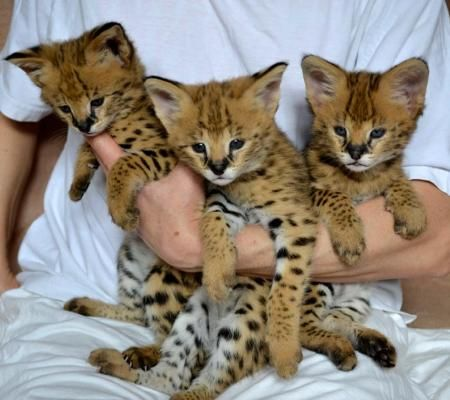 Very exotic bengal, serval, savannah, and caracal kittens for sale   Listed Items Community