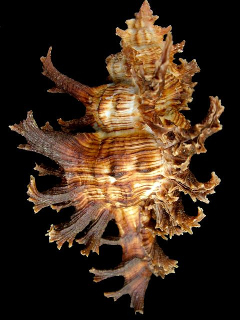 Muricidae - Chicoreus Spectrum, Brazil