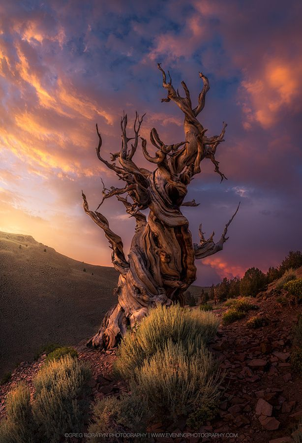 The Aged (bristlecone pine, California) by Greg Boratyn - 500px