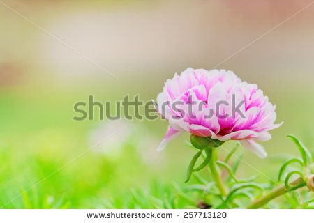 Pink and white flower alone in green garden - stock photo
