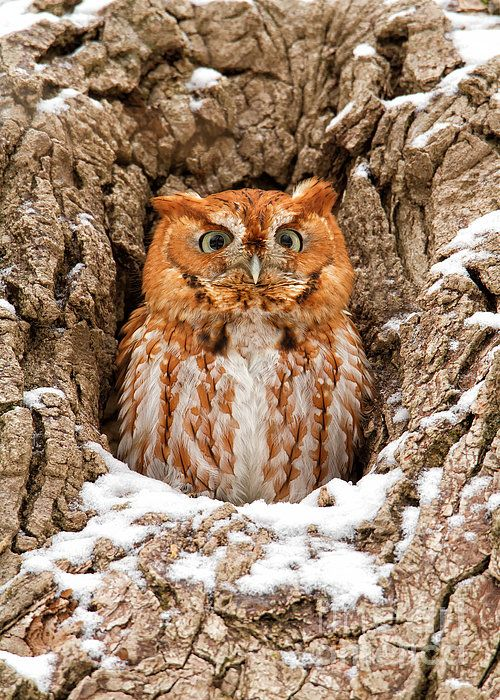 This Eastern Screech Owl (Red-Morph) was photographed in Brecksville Reservation which is located within Cuyahoga Valley National Park in Ohio. I was fortunate to have a light snow fall that dusted the outside of the cavity the night before where this Eastern Screech Owl was roosting during the day. A very memorable encounter for me.