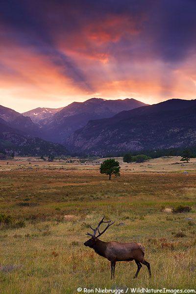 Elk in Moraine Park, Rocky Mountain National Park, Colorado///I saw